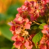 pinkpetals