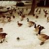 duckattack